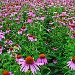 Cannabinoïde stoffen: 5 planten, vergelijkbaar met cannabis