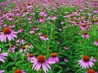 Echinacea Cannabinoïde stoffen