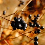 8 Gezondheidsvoordelen van Acai bessen
