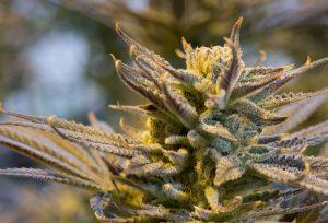 cannabinoïden cannabis huidklachten