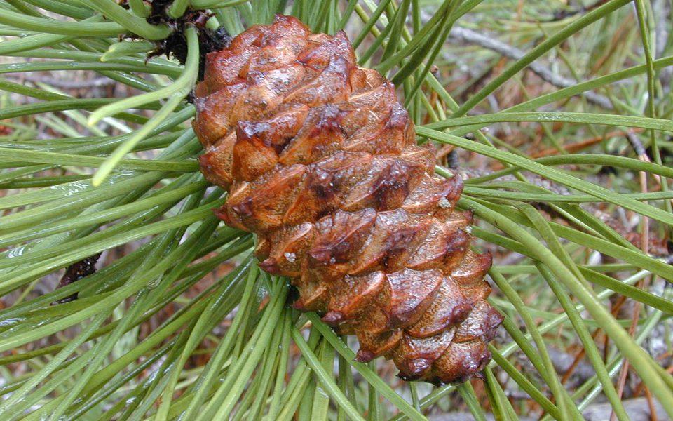 Pycnogenol natuurlijke behandeling psoriasis Pinus pinaster