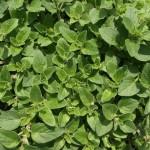 Rosacea natuurlijke behandeling met oregano olie