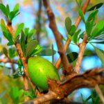 Effectieve psoriasis behandeling met arganolie