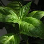 Recept tomaat-basilicum sap
